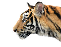 Bengal tiger face isolated Stock Photography