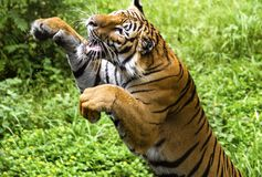 Bengal tiger. The fast motion of the jumping Bengal tiger Stock Images