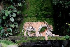 Bengal Tiger in forest playing. Bengal Tiger in forest show head and leg royalty free stock image