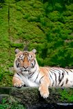 Bengal Tiger in forest show head. And leg royalty free stock photography