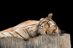 Bengal Tiger in forest show head. And leg royalty free stock image