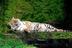 Bengal Tiger in forest show head. And leg royalty free stock photos