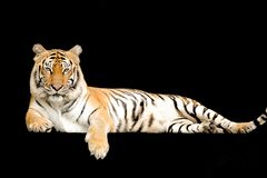 Bengal Tiger in forest show head and leg. Isolated on black background royalty free stock photos