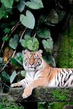 Bengal Tiger in forest Thailand. Bengal Tiger in forest show head and leg stock image