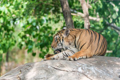 Bengal Tiger in forest show head and leg. Tiger lying in stone Stock Photos