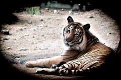 Bengal Tiger in forest show at Thailand. Bengal Tiger in forest show head and leg stock images