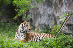 Bengal Tiger in forest. Sitting on grass Stock Image