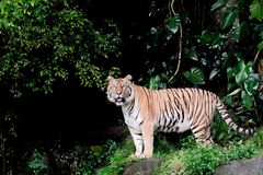 Bengal Tiger in forest standing on stone. Bengal Tiger in forest show head and leg royalty free stock photo