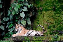 Bengal Tiger in forest Thailand. Bengal Tiger in forest show head and leg royalty free stock photo
