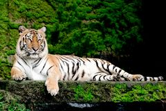 Bengal Tiger in forest at Thailand. Bengal Tiger in forest show head and leg stock photos