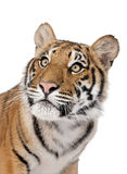 Bengal tiger in front of a white background Royalty Free Stock Images
