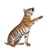 Bengal tiger in front of a white background