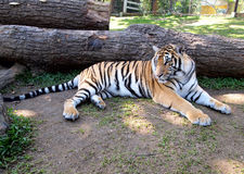 Bengal Tiger - full body Royalty Free Stock Photos