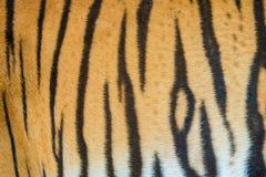 Bengal tiger fur Stock Image