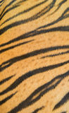 Bengal tiger fur. Background textured of real bengal tiger fur Royalty Free Stock Photography