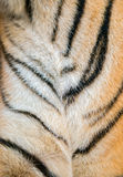 Bengal tiger fur Stock Image