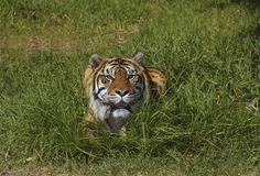 Bengal tiger in the grass 2. A bengal tiger (Panthera tigris bengalensis) lying in the grass looks straight at the viewer Stock Photos