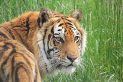 Bengal tiger in grass Royalty Free Stock Photography