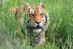 Bengal tiger in grass Stock Photo