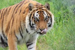 Bengal tiger in grass Royalty Free Stock Images