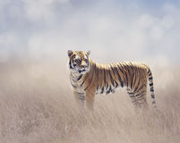 Bengal Tiger in the Grassland Royalty Free Stock Photography