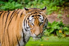 Bengal Tiger on Green Grass Royalty Free Stock Photography