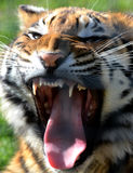 Bengal Tiger Growl. A young male Bengal Tiger growling Royalty Free Stock Images