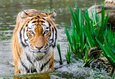 Bengal Tiger Half Soak Body on Water during Daytime Stock Photography