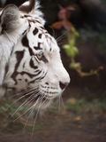 Bengal tiger head closeup Stock Images