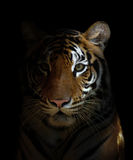 Bengal tiger head Stock Photography