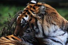 Bengal tiger head Stock Photography