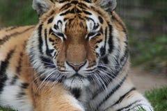Bengal tiger head Royalty Free Stock Photo