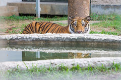 Bengal Tiger is hiding at the pond Stock Photo