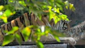 Bengal-Tiger hinter dem Grün stock video footage