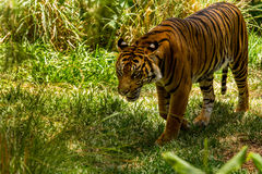 Bengal Tiger Royalty Free Stock Image