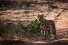Bengal tiger i den Bandhavgarh nationalparken Arkivbilder