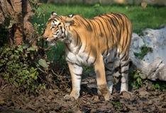 Bengal tiger i en djur reserv för djurliv i Indien royaltyfri bild