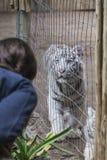 Bengal tiger i fångenskap Royaltyfria Foton