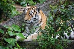 Bengal tiger i indisk djungel Royaltyfri Fotografi