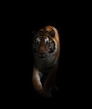Bengal tiger i mörkret Arkivbilder