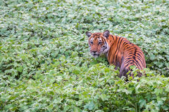 Bengal-Tiger im Lebensraum Stockbilder
