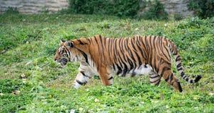 Bengal-Tiger im Zoo lizenzfreie stockbilder