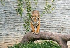 Bengal-Tiger im Zoo lizenzfreie stockfotografie