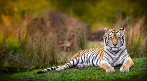 Bengal tiger. A bengal tiger inside a habitat Stock Photos