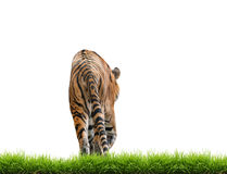 Bengal tiger isolated. Male bengal tiger isolated  on white background Royalty Free Stock Images