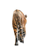 Bengal tiger isolated. Male bengal tiger isolated  on white background Stock Photography