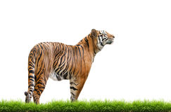 Bengal tiger isolated. Male bengal tiger isolated  on white background Royalty Free Stock Photo