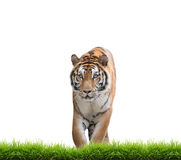 Bengal tiger isolated. Male bengal tiger isolated  on white background Stock Photo