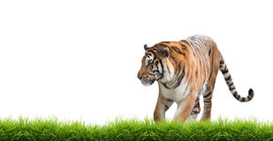 Bengal tiger isolated. Male bengal tiger isolated  on white background Royalty Free Stock Image