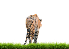 Bengal tiger isolated. Male bengal tiger isolated  on white background Stock Images